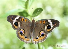 Common Buckeye (Junonia coenia), Florida, USA. Florida Museum of Natural History Lepidoptera Image Gallery, Andrei Sourakov, photographer.