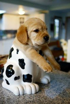Ahhhhh we can't stand how ADORABLE this puppy in a cookie jar is!!! | puppies | adorable animals | cute animals | baby animals | golden retriever | yellow lab