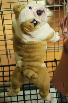 5 Cutest Bulldog puppies you have ever seen :)