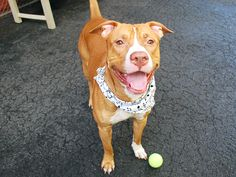 GONE 5/6/2015 --- Manhattan Center FRANK – A1034352 MALE, BROWN / WHITE, PIT BULL MIX, 1 yr, 6 mos STRAY – STRAY WAIT, NO HOLD Reason STRAY Intake condition EXAM REQ Intake Date 04/26/2015