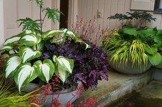 Containers for shade (Heuchera, Hosta, Actaea)