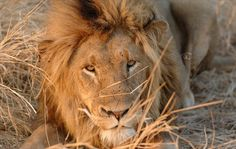 Lion at Lake Manyara National Park