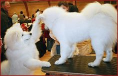 OMG they're so fluffyyyyy! I cannot wait to get my samoyed puppy :D