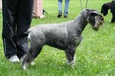 Medium (standard) schnauzer. I love giant dogs but am thinking medium is better for apartment life.
