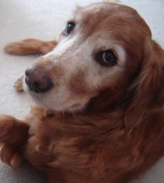 Senior golden- reminds me of our Golden Pepe... what an awesome guy he is!