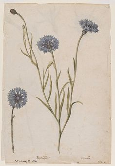 Watercolour, a cornflower on the recto and a corn cockle on the verso, attributed to Jacques Lemoyne de Morgues, French school, ca. Botanical Drawings, Botanical Prints, Art Floral, Sibylla Merian, Illustration Botanique, Nature Illustration, Technical Drawing, Fauna, Gravure