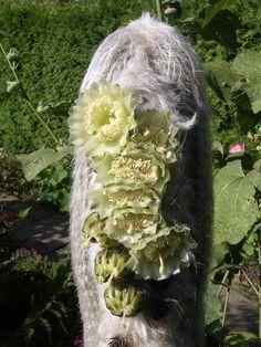 Espostoa lanata