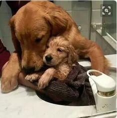 Golden Retriever Mom bathing her Puppy