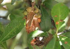 Bag Worms, Oh My!!! | Terry Spear | Central Texas, hanging off a pyracantha