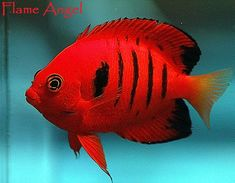 Flame Angel #TropicalFishSaltwater