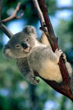 thelordismylightandmysalvation:  Koala Baby