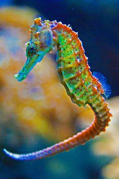 Good News for Seahorses
