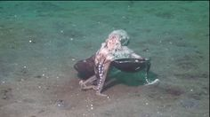 27 Excellent Reasons To Be Happy-- Because this octopus carries around a coconut to hide in
