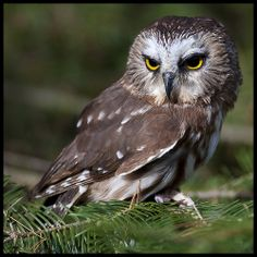 Northern Saw-whet Owl 3
