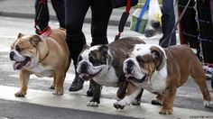 Bulldogs arrive on the first day of the Crufts dog show in Birmingham, central England. -- 8 March 2012