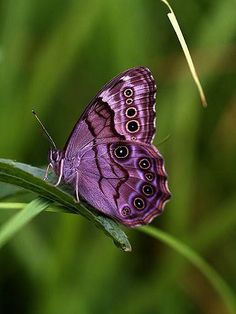 purple color added in Photoshop~~Northern Pearly Eye ~ Butterfly by Butterfly Kisses, Butterfly Flowers, Butterfly Wings, Purple Butterfly, Morpho Butterfly, Blue Morpho, Butterfly House, Paper Flowers, Beautiful Bugs