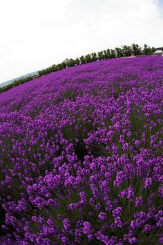 Okay - so this is a plant I love instead of a product. lavender=love, comfort, peace  and bliss