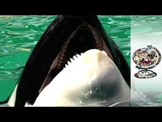 Freeing A Killer Whale Held Captive For 43 Years :( THEY BELONG IN THE OCEAN AS NATURE INTENDED, NOT A SMALL ASS TANK FOR BARBARIC HUMAN ENTERTAINMENT!!