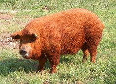 "Red Mangalica Pig (or ""sheep pig"") - photo from geneconservation.hu;  This domestic pig's body is covered by curly, spirally upward winding hair that is shed in the summer, when the animals become smooth-haired.  The ears point forward."