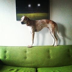 Maddie the Coonhound stands on a fabulous green retro couch.