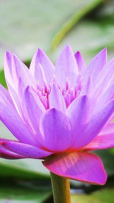 Water lily, bloom, pink, beautiful, flora, 720x1280 wallpaper