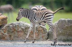 Little zebra   #babyzebra   #cutezebra  #cutebabyzebra  #littlezebra  #sweetzebra  #sweetbabyzebra  #babyanimals   #cuteanimals  #sweetanimals Zebra Pictures, Baby Animals, Cute Animals, Plains Zebra, Baby Zebra, Zebras, Pretty Animals, Baby Pets, Cutest Animals