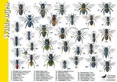 Herkenningskaart / zoekkaart Wilde bijen