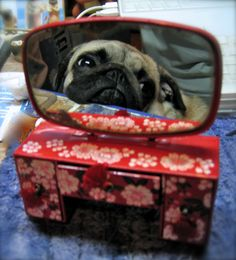 Mirror, mirror, who is the laziest pug in the world?