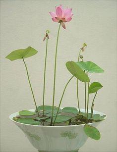 Growing Lotus flowers indoors                                                                                                                                                                                 More