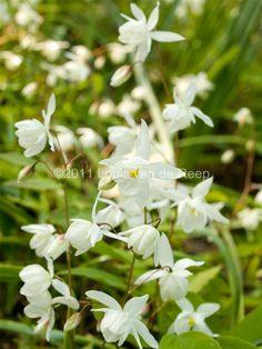 Epimedium grandiflorum 'nanum' Partial Shade Plants, Moon Garden, Outdoor Living, Photograph Album, Plants, Outdoor Life, The Great Outdoors, Outdoors, Bushcraft