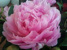 Iedere dag iets moois: rozen verwelken...