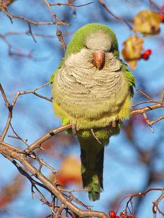 Funny Birds, Cute Birds, Pretty Birds, Beautiful Birds, Animals Beautiful, Monk Parakeet, Budgie Parakeet, Nature Animals, Animals And Pets