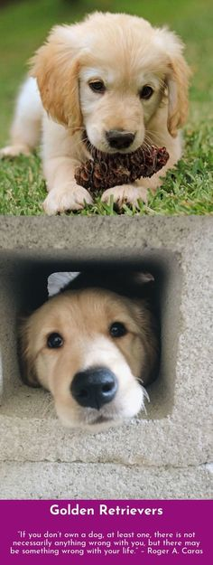 42 Ideas For Funny Pets Dogs Golden Retrievers Animals And Pets, Baby Animals, Funny Animals, Cute Animals, Funny Pets, Retriever Puppy, Dogs Golden Retriever, Golden Retrievers, Puppy Pictures