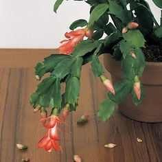 Christmas (and Thanksgiving and Easter) Cactus Care Easter Cactus, Cactus Flower, Cactus Care, Christmas Cactus, Green Life, Bud, Indoor Plants, House Plants, Succulents