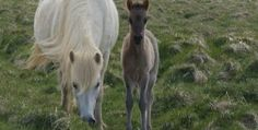 First Foal in North America of an Icelandic Horse #horse #icelandichorse #tolt #iceland
