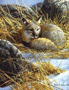 CURLED UP - SWIFT FOX  Robert Bateman