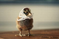 Greeting Card Set Chick in White Kerchief Four Folded Photo Note Cards With Envelopes (4)