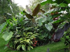 the best 1st year tropical garden I have seen: huge plants, great combinations of foliage and colors!