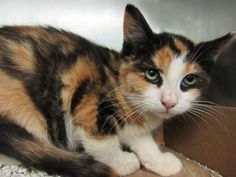 BERTHA - A1094221 - - Brooklyn  Please Share:*** TO BE DESTROYED 11/09/16 *** CAME IN WITH LUCY – A1094220 -  Click for info & Current Status: http://nyccats.urgentpodr.org/bertha-a1094221/