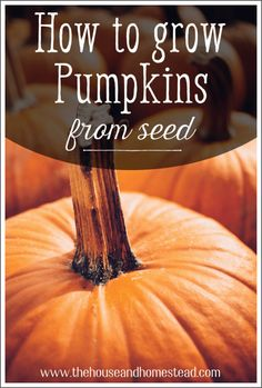 Learn how to grow pumpkins from seed and start your very own pumpkin patch in your home garden! Learn how to grow pumpkins from seed and start your very own pumpkin patch in your home garden by folowing these simple rules for growing pumpkins at home. Grow Pumpkins From Seeds, Planting Pumpkin Seeds, Pumpkin Garden, Pumpkin Farm, Diy Pumpkin, How To Plant Pumpkins, Gardening For Beginners, Gardening Tips, Pumpkin Varieties