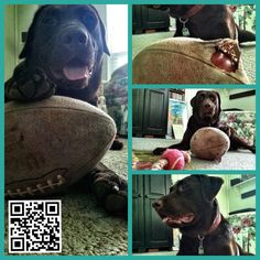 Team Player Henley Labrador #Pet #Pets #Dog