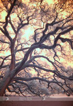 old oak LA