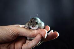 Hamster funny cute pet