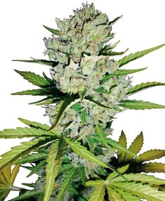 Super Skunk Weed Seeds AutoFlower - The finest features of the world-famous Super Skunk family have been blended with a vigorous example of Cannabis ruderalis to create an exceptional auto-flowering feminized marijuana strain with the same dependable all-round performance that makes Super Skunk one of the top seed varieties for commercial or connoisseur growers.