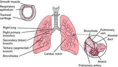 Lung abscess | definition of lung abscess by Medical dictionary