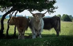 cows on minchinhampton common - Google Search