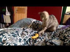 Funny Cats Reacting to Bananas