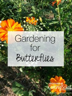 Gardening for Butterflies | A beautiful garden can attract a number of visitors to your yard: bees, birds, and -- the most exquisite of them all -- butterflies. Chances are you already have a number of butterfly-attracting plants, and butterflies bring many amazing benefits to your garden. Here are four tips for creating a butterfly-friendly garden. | TraditionalCookingSchool.com