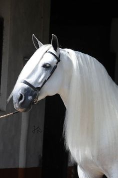 Siroco VII, PRE stallion