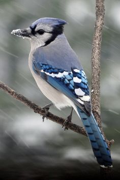 Blue Jay. Snow. Beautiful.